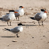 Royal Tern :