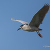 Black-crowned Night-Heron :