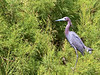 Little Blue Heron :