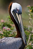 Brown Pelican : Pelecanus occidentalis